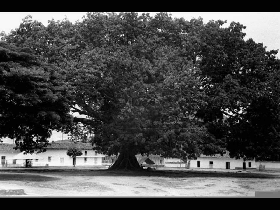 Historiador recomienda preservar restos de la Ceiba de la Libertad