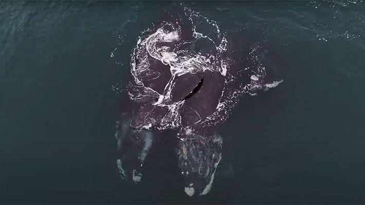 Dos ballenas francas parecen abrazarse con sus aletas