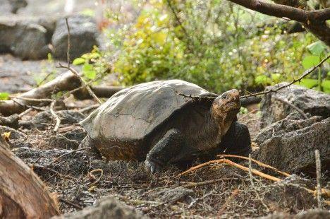 Hallan tortuga en Galápagos que se creía extinguida hace más de cien años
