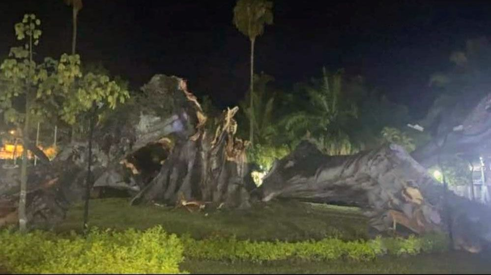 Cayó la Ceiba de La Libertad de Gigante