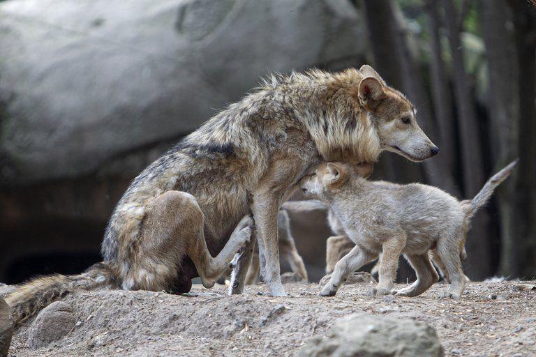 Los cachorros de lobo mexicano en el zoológico de Chapultepec