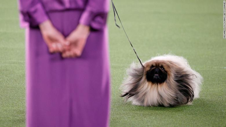 Perro pequinés llamado Wasabi ganó famosa competencia de belleza canina en EE.UU.