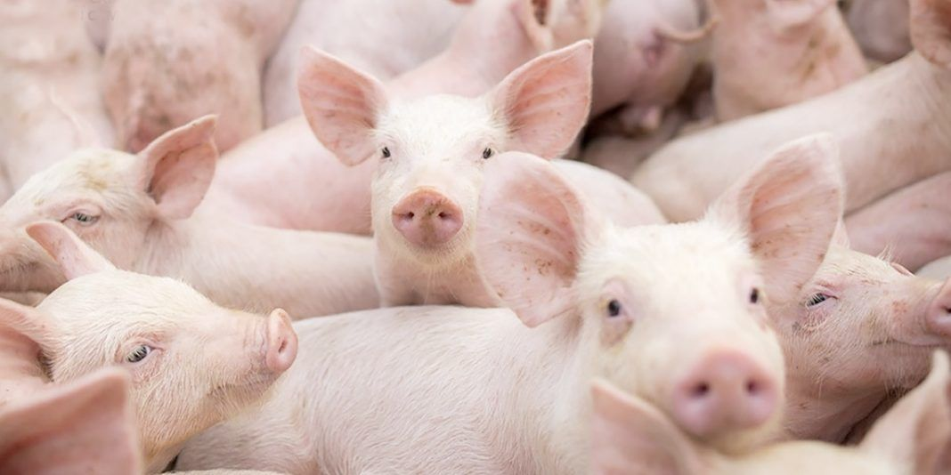 Huila declarado territorio libre de peste porcina clásica sin vacunación