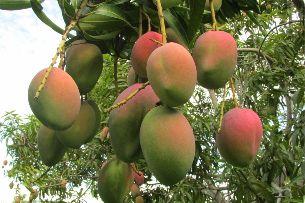 Mango colombiano ingresará al mercado de EE.UU