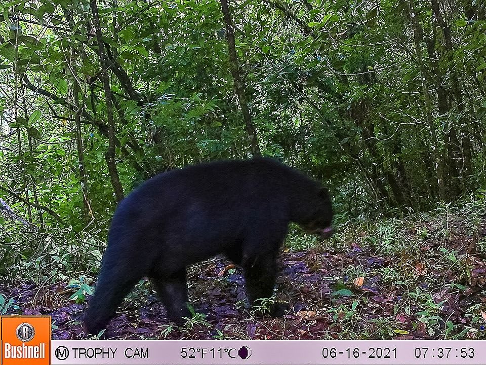 Avistado oso de anteojos en Íquira