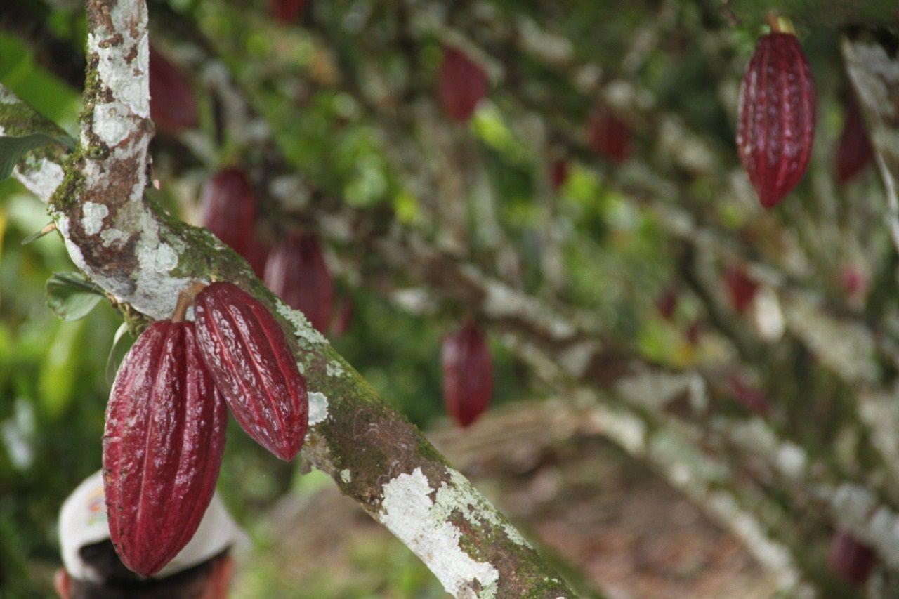 ¿Qué está pasando con los precios del Cacao?