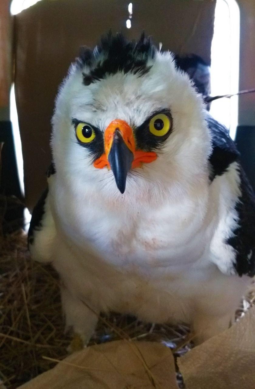 Águila blanquinegra se recuperó y retornó a su hábitat natural en el Huila