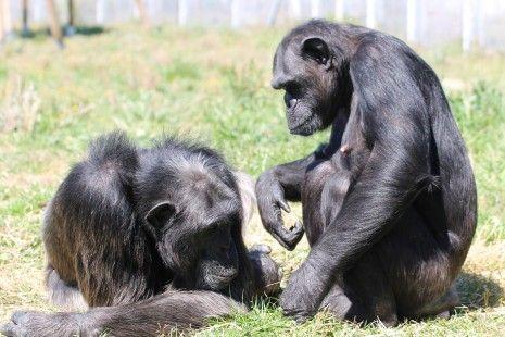 Los chimpancés, amenazados también por trastornos mentales graves