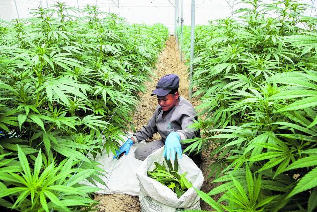 Dan vía libre a la exportación de la flor seca de marihuana con fines medicinales