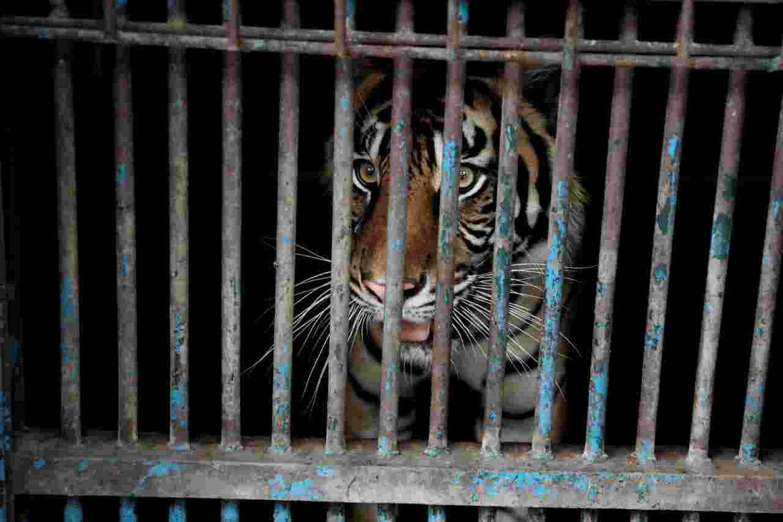 Dos tigres de Sumatra resultaron contagiados de Covid-19