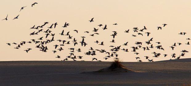 La playa de Doñana albergó algo más de 6.700 aves en 2020