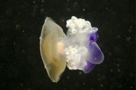 La medusa simbionte se adaptará a futuras condiciones del mar