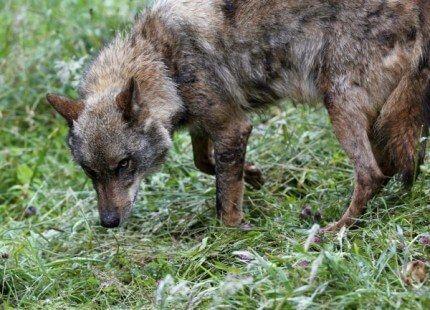La convivencia con el lobo requiere soluciones para las necesidades locales