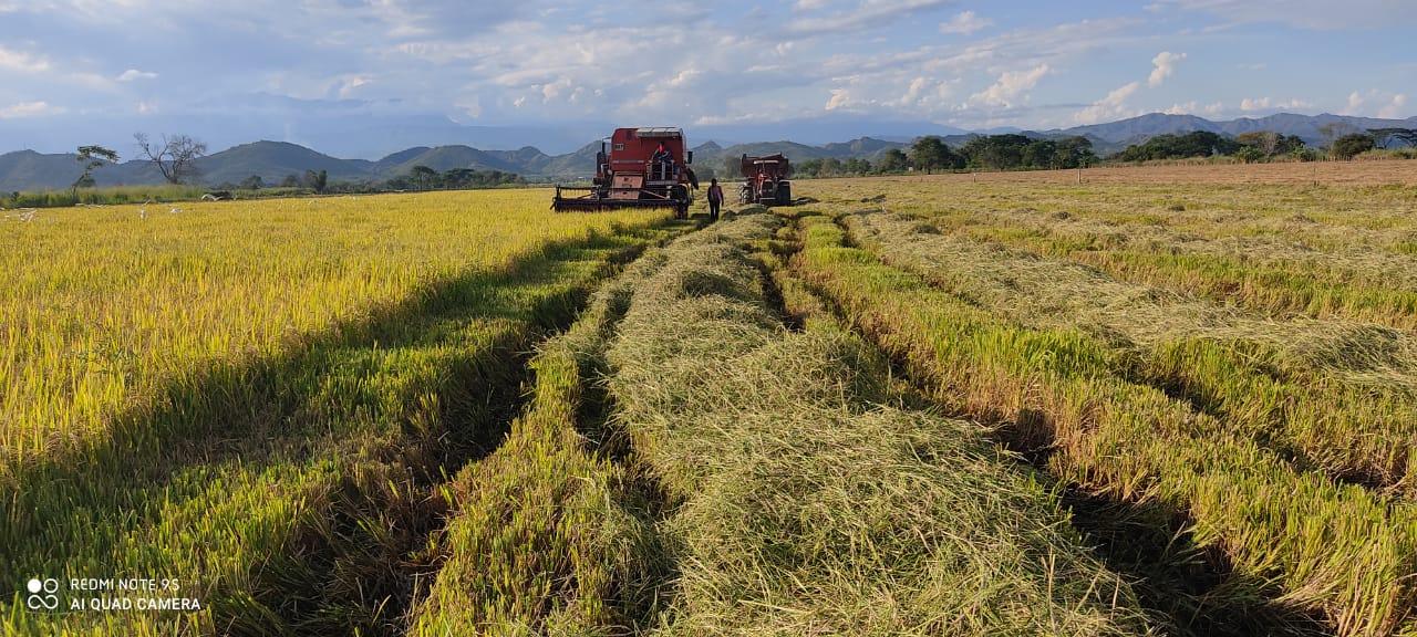 Arroceros del Huila pasan a sembrar maíz, soya y frijol