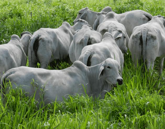 La ganadería, un sector beneficioso en el Huila